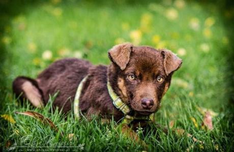 MOKKA - CUDOWNE psie DZIECKO, czekoladowa SUNIA czeka na dom!