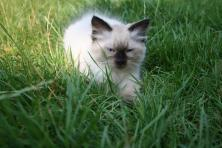 Sprzedam kocięta syberyjskie neva masquarade.