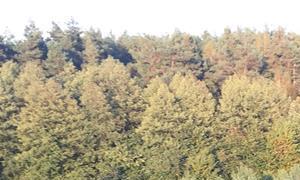 ŚWIERK SREBRNY kaibab sadzonki na choinki żywopłot duże małe i średnie drzewa krzewy liściaste iglaste