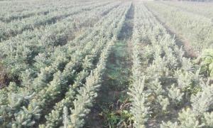 Sadzonki na choinki żywopłot zalesienia wiatrochrony inwestycja zarób miliony świerki jodła tuja