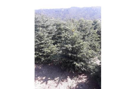 Choinki bożonarodzeniowe - jodła kaukaska, hurt