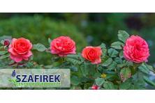 Sprzedaż roślin ozodobnych i róż